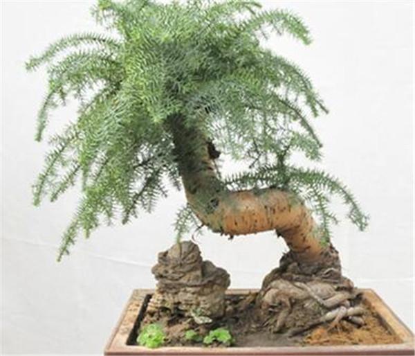 澳洲杉用什么花盆好看 澳洲杉的养殖方法和注意事项