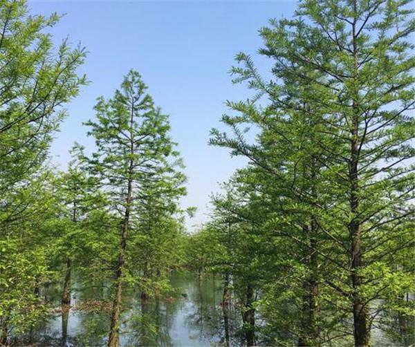 池杉和水杉的区别 池杉是对生还是互生