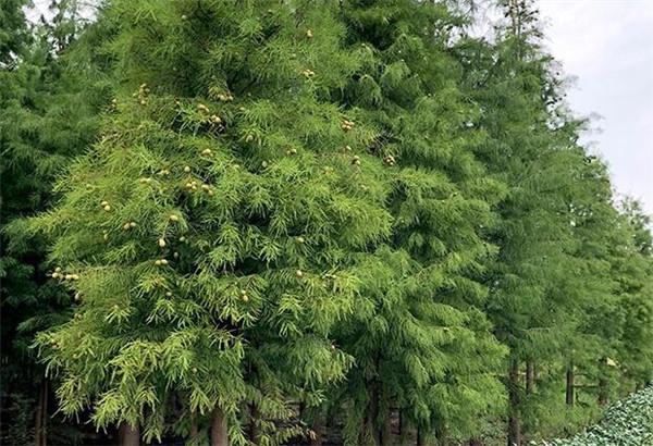 池杉可以在家养吗 池杉树果子有什么价值