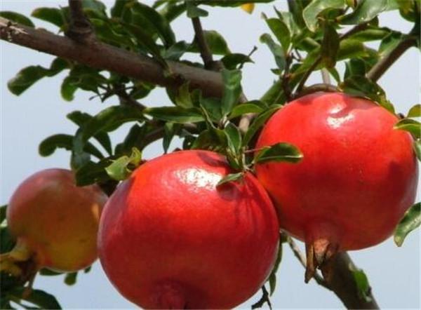 石榴怎么吃 石榴的营养价值与功效