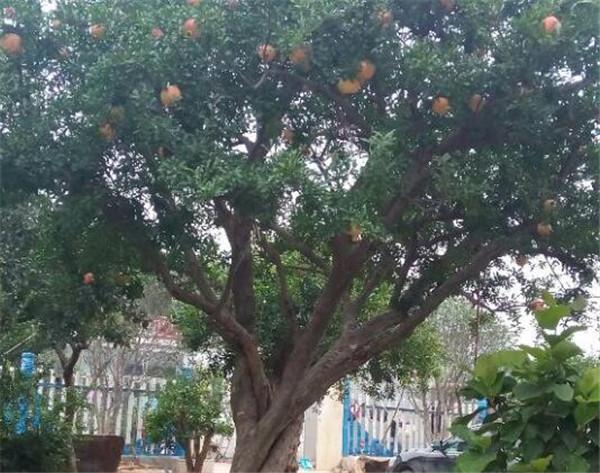 石榴树什么时候移栽 国内最好的石榴苗品种