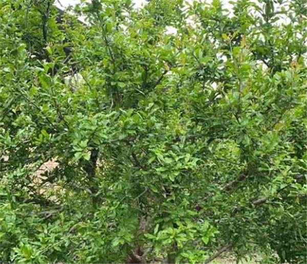 三年的石榴树怎么修剪 石榴树用什么肥料最好