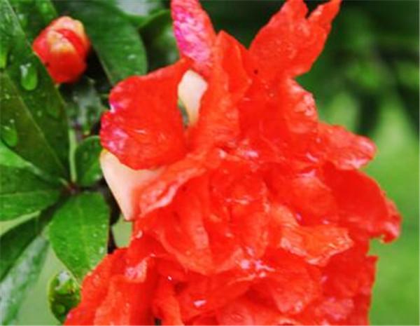 石榴花花语是什么 石榴花怎么养