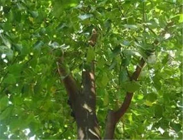 菩提树的寓意是什么 菩提树适合家里养吗