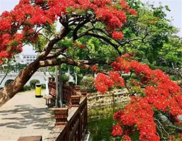 凤凰树的寓意和风水图片 凤凰树适合种在家里吗
