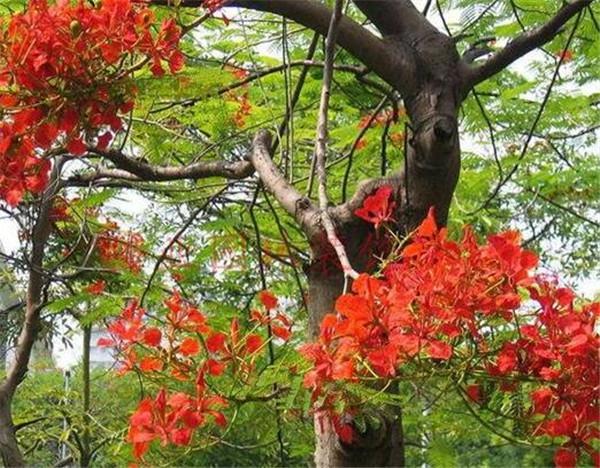 凤凰树是吉祥树吗 大门口种凤凰树好不好