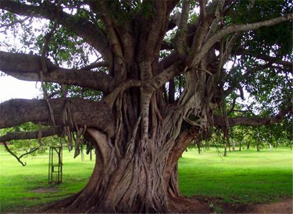 家种菩提树断子绝孙吗 家宅适合种菩提树吗