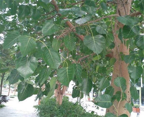 家种菩提树有什么说法 庭院十大吉祥之树