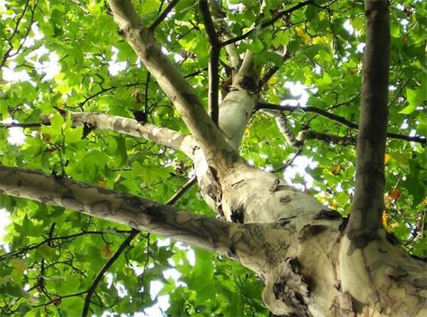 为什么梧桐树招鬼 梧桐树风水作用