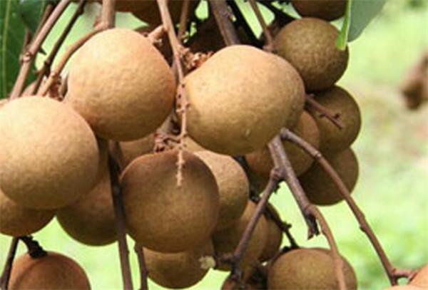桂圆干一天吃几个最好 红枣和桂圆加重湿气吗