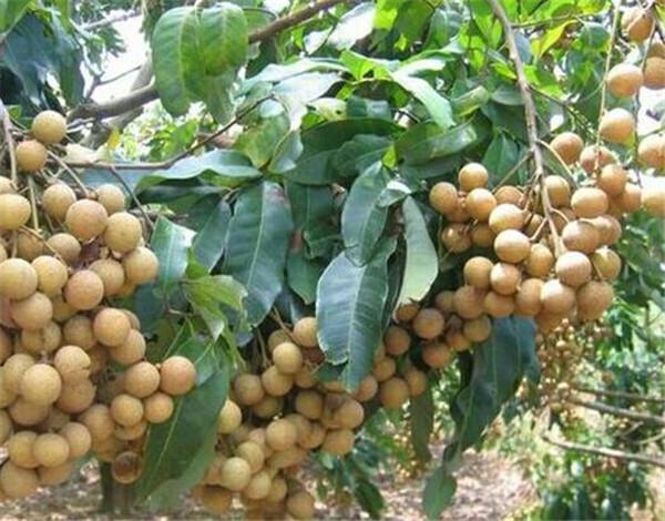龙眼树苗什么品种最好 龙眼树施什么肥长得快