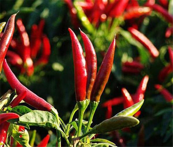 指天椒种植技术与管理 指天椒和朝天椒哪个辣