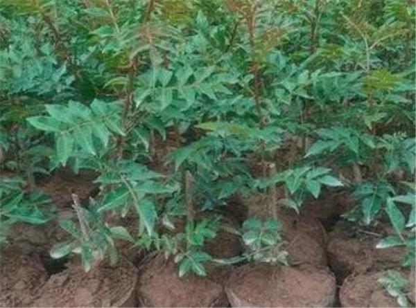 无刺花椒苗有哪些品种最好 无刺花椒好还是有刺花椒好