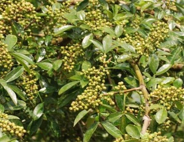花椒树种植技术 花椒树如何修剪