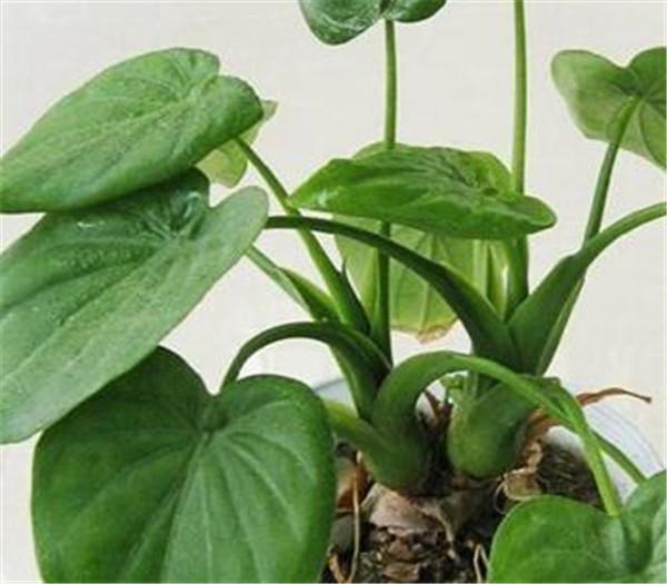 海芋和竹芋的区别 海芋叶子为什么会滴水